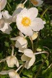 Wiosna dzicy kwiaty - drewniany anemon, windflower anemonu nemorosa obrazy stock