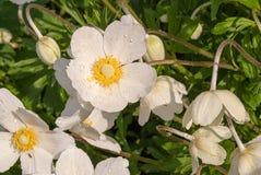 Wiosna dzicy kwiaty - drewniany anemon, windflower anemonu nemorosa obraz stock