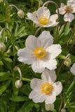 Wiosna dzicy kwiaty - drewniany anemon, windflower anemonu nemorosa obrazy royalty free