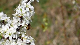 Wiosna dzień w Kharkov Czereśniowych okwitnięć końcówka pszczoła unosi się nad kwiatami zbiory