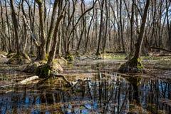 Wiosna dzień na bagnie w lesie Zdjęcie Stock