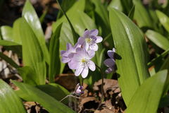 Wiosna Dziki kwiat 01 Zdjęcia Royalty Free
