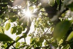 Wiosna evening jabłczanego sad Wieczór światło słoneczne Obraz Stock