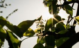 Wiosna evening jabłczanego sad Fotografia Stock
