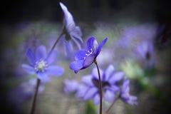 Wiosna fartuch Pierwiosnkowi kwiaty B??kitni pi?kni kwiaty zdjęcia stock