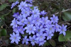 Wiosna fartuch Pierwiosnkowi kwiaty B??kitni pi?kni kwiaty fotografia stock