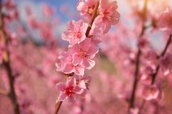 Wiosna fiołek kwitnie na drzewie obraz stock