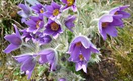 Wiosna fiołka kwiaty. Pulsatilla Montana Reichb (Hoope) Zdjęcia Royalty Free