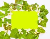 Wiosna flatlay bluszcz opuszcza z białymi kwiatami i zieleni pa Zdjęcie Royalty Free