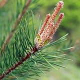 wiosna gałęziasty jedlinowy drzewo Zdjęcia Royalty Free