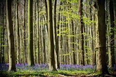Wiosna i bluebells przy Hallerbos drewnami obrazy royalty free