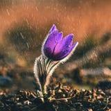 Wiosna i wiosna kwiat w deszczu Kwitnący piękni kwiaty na łące w naturze Pasque słońce z naturalnym i kwiat Fotografia Stock