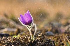 Wiosna i wiosna kwiat w deszczu Kwitnący piękni kwiaty na łące w naturze Pasque słońce z naturalnym i kwiat Obrazy Stock
