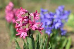 Wiosna i pięknie kwitnąć kwiaty - hiacynt fotografia royalty free