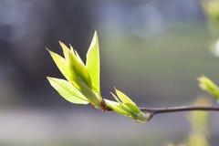 Wiosna jasnozieloni liście na gałąź zbliżenia widoku na plenerowym pogodnym tle zdjęcie royalty free