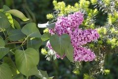 Wiosna jest kiedy lili kwiaty kwitną Obrazy Royalty Free