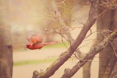 Wiosna kardynał Fotografia Stock