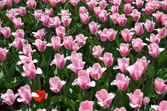 wiosna kolorowi tulipany Zdjęcie Royalty Free