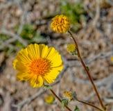 Wiosna koloru żółtego pustyni Wildflower obraz stock