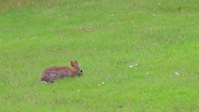 Wiosna królik w gazonie zbiory