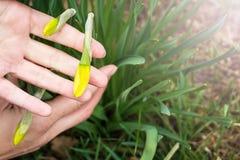 Wiosna krótkopędy narcyz Tubowy daffodil Zdjęcia Royalty Free