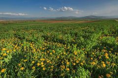 Wiosna krajobraz z żółtym dandelions kwiatem Obraz Royalty Free