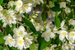 Wiosna krajobraz z jaśminowymi kwiatami Selekcyjna ostrość zdjęcie stock