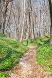 Wiosna krajobraz z lasowym footpath i białym dzikich kwiatów drewnianym anemonem obrazy royalty free
