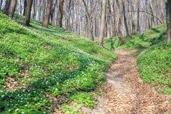 Wiosna krajobraz z lasowym footpath i bia?ym dzikich kwiat?w drewnianym anemonem zdjęcie stock