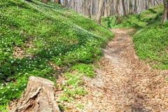Wiosna krajobraz z lasowym footpath i bia?ym dzikich kwiat?w drewnianym anemonem zdjęcie royalty free