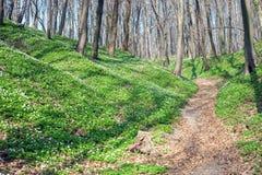 Wiosna krajobraz z lasowym footpath i bia?ym dzikich kwiat?w drewnianym anemonem obrazy stock