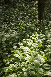 Wiosna krajobrazowy wizerunek dzikiego czosnku dorośnięcie w bujny zieleni pierwszym planie Obraz Stock