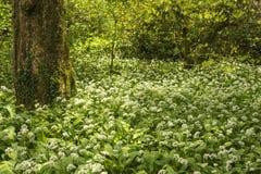 Wiosna krajobrazowy wizerunek dzikiego czosnku dorośnięcie w bujny zieleni pierwszym planie Fotografia Stock