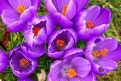 wiosna krokus Obraz Royalty Free