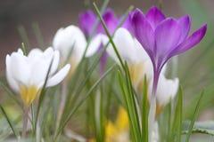 wiosna krokus Obrazy Stock