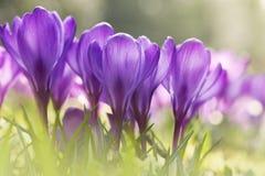 Wiosna krokusa purpurowi kwiaty Zdjęcia Royalty Free