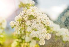 Wiosna krzaka kwiaty Obrazy Royalty Free