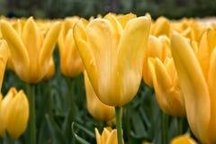 Wiosna kwiatów kolorowi tulipany Zdjęcie Stock