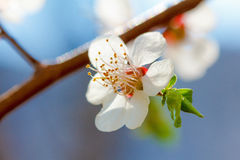 Wiosna kwiatów kwiat na drzewach Makro- strzału ogród Zdjęcia Stock