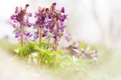 Wiosna kwiatów pogodny Corydalis w zaświeca klucz zdjęcie stock