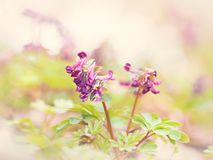 Wiosna kwiatów pogodny Corydalis w zaświeca klucz zdjęcie royalty free