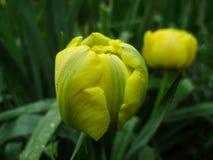 Wiosna kwiatów sztandar żółty tulipanowy kwiat Kwiatów tulipanów tło Piękny widok żółci tulipany i światło słoneczne tulipany, po Fotografia Royalty Free