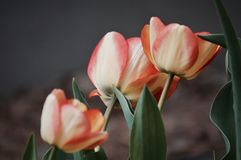 wiosna kwiat Obrazy Royalty Free
