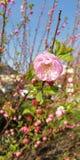 wiosna kwiat Delikatni r??owi kwiaty na tle macanie ziele? opuszczaj? zdjęcie stock