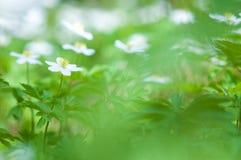 Wiosna kwiat, drewniany anemon w lasowej podłoga fotografia royalty free