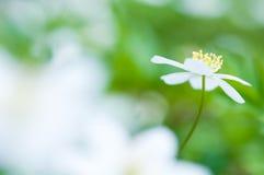 Wiosna kwiat, drewniany anemon w lasowej podłoga obrazy royalty free