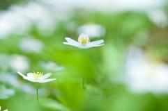 Wiosna kwiat, drewniany anemon w lasowej podłoga zdjęcie stock