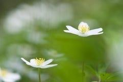 Wiosna kwiat, drewniany anemon w lasowej podłoga zdjęcie royalty free
