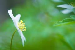 Wiosna kwiat, drewniany anemon w lasowej podłoga fotografia stock