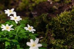 Wiosna kwiat drewnianych anemon?w zbli?enia fotografia fotografia royalty free